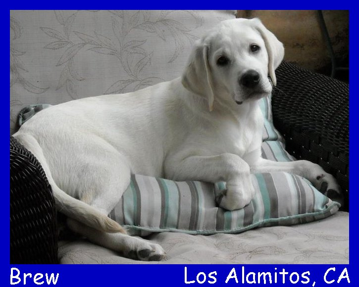 English white lab puppy, white english lab puppy, white purebred lab puppies for sale in california, white lab puppies, english lab puppies, lab pups, yellow lab pups