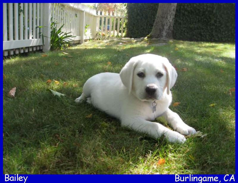 akc english white lab puppies for sale in San Diego by Labstolove.com