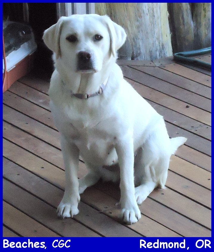 white female lab, male white labrador retriever