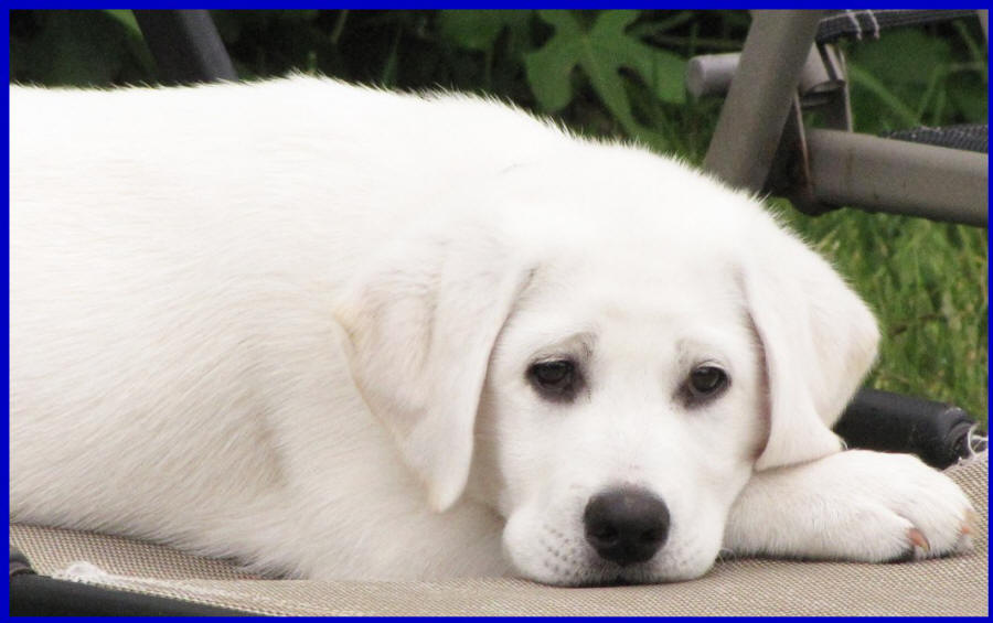 white lab puppies for sale by Labs TO Love Puppies in San Diego California