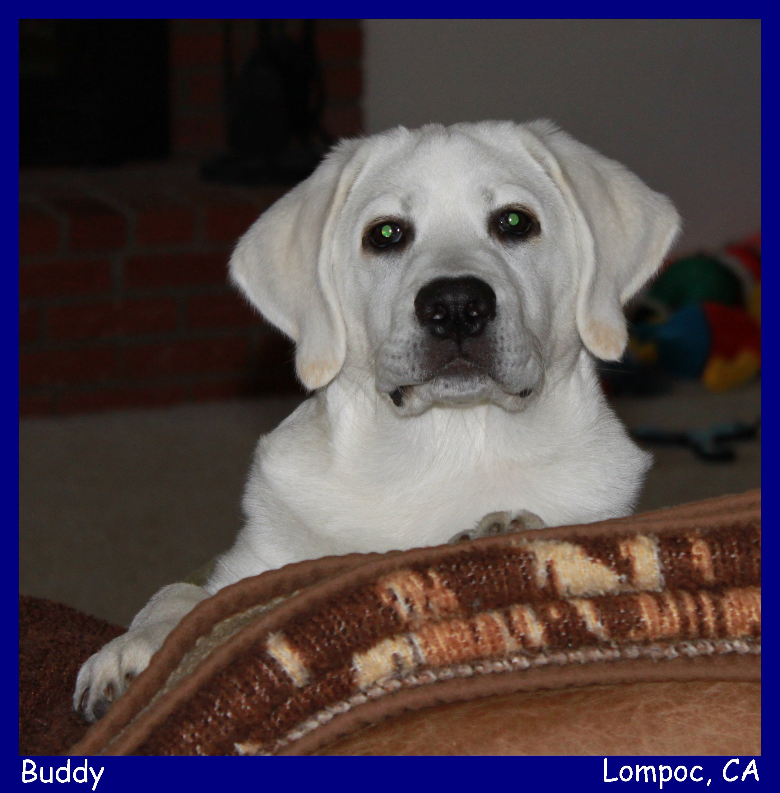 english lab puppies for sale white lab puppies for sale