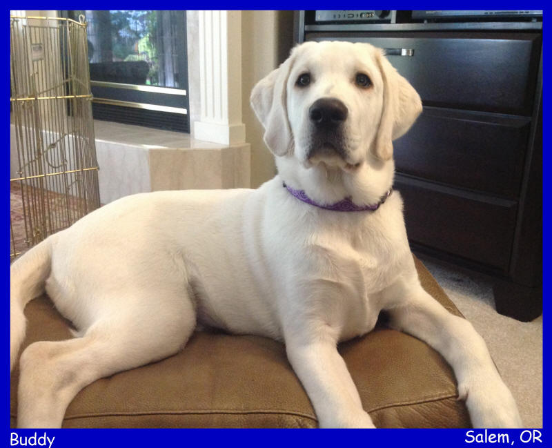 akc english white lab puppies for sale in