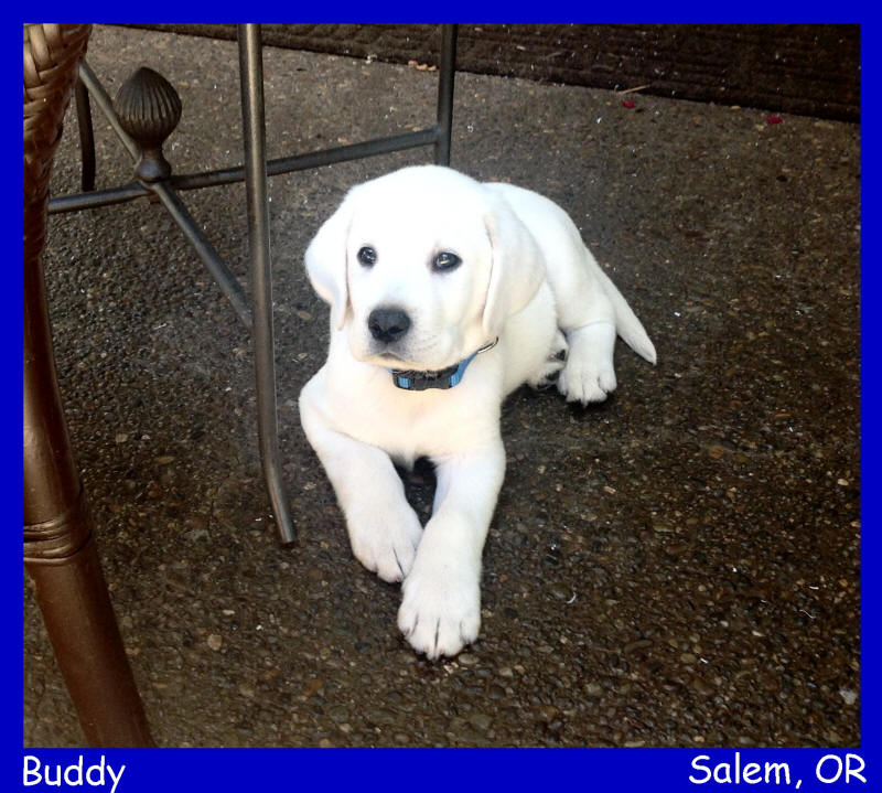 english white akc lab pups for sale white lab puppies for sale LABS TO LOVE California white lab puppies