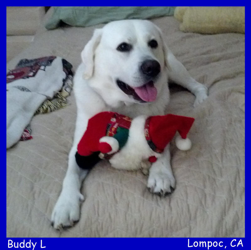 akc english white labrador puppy for sale in california