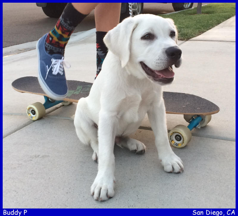 white lab puppies for sale LABS TO LOVE California white lab puppies