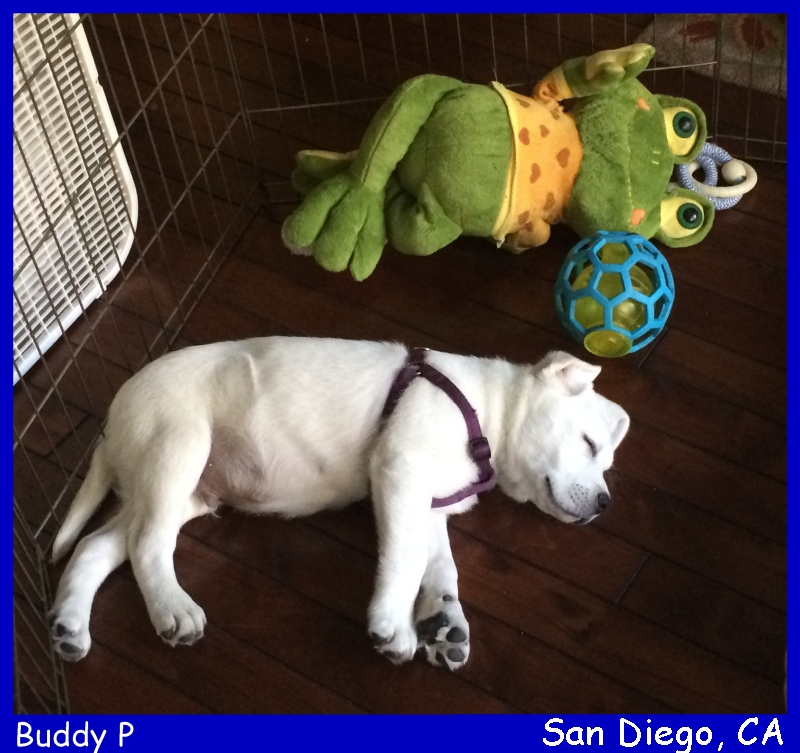 white lab puppy for sale san diego california white lab puppies for sale LABS TO LOVE California white lab puppies