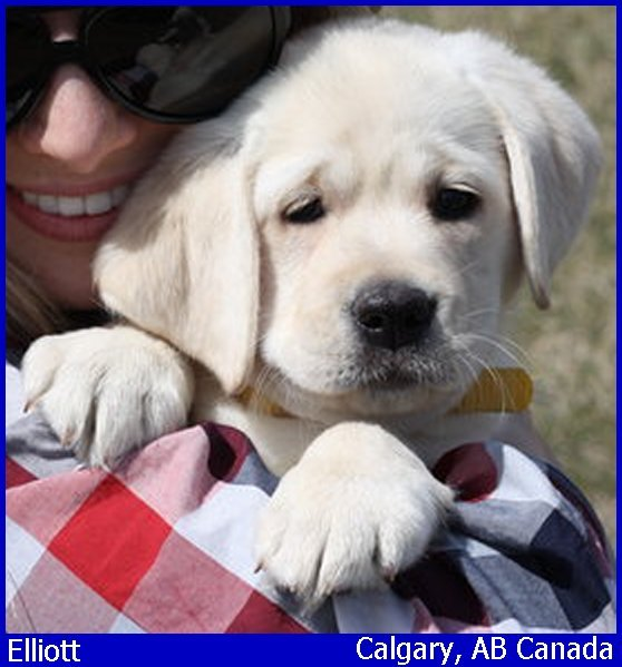 white lab puppy, blonde labrador puppies, yellow lab pups www.LabsToLove.com