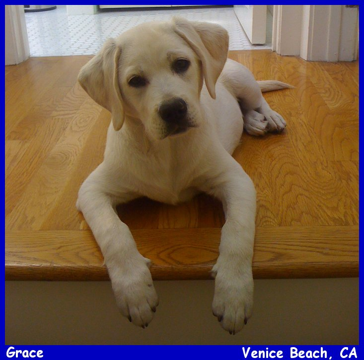 Labs_Pups_Labs_To_Love English Labradors Breeder Yellow Labs