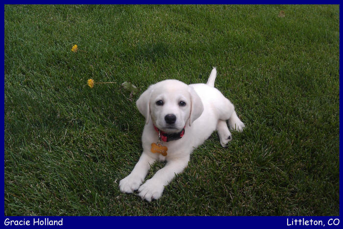 white labrador retriever female, white lab puppy, blonde labrador puppies, yellow lab pups www.LabsToLove.com