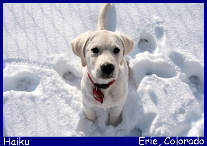 white lab puppies for sale in * california