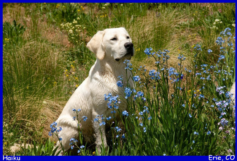 white lab puppies for sale in colorado