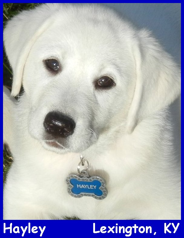 white lab puppies for sale in Kentucky at Labs To Love