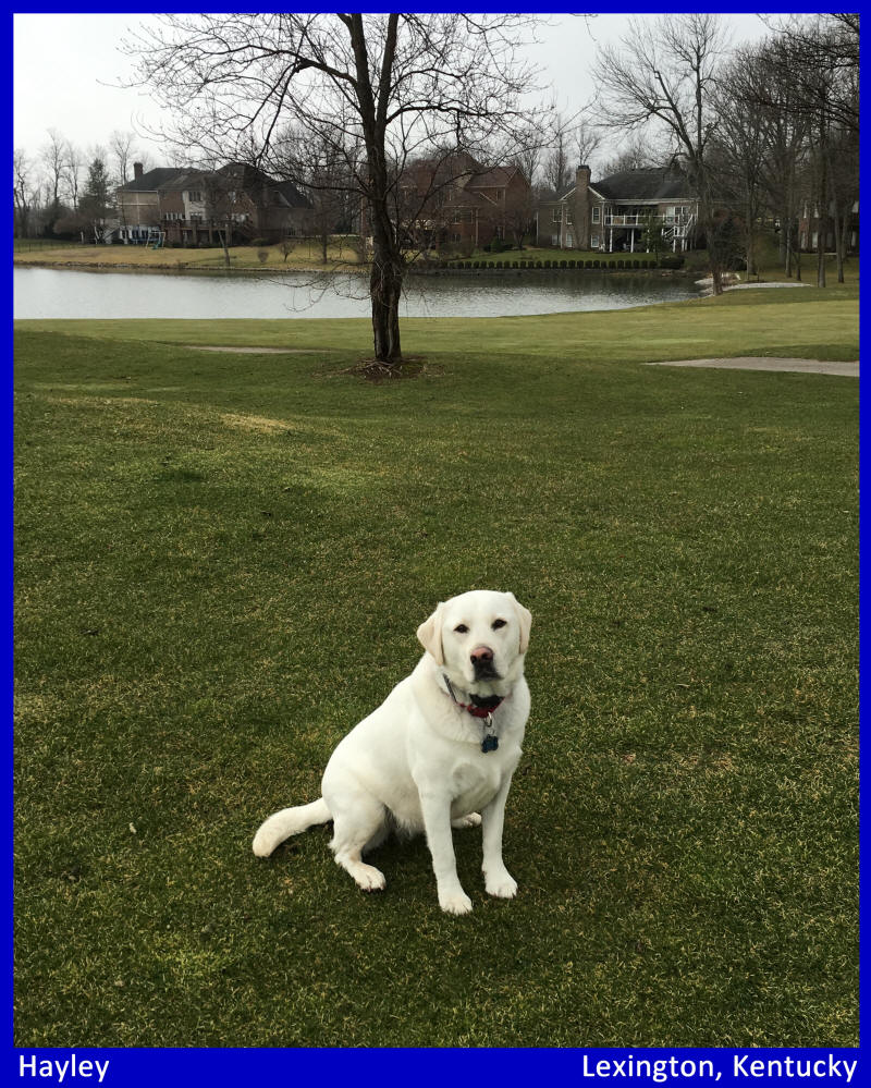 white lab puppies by Labs To Love for sale in Kentucky Florida