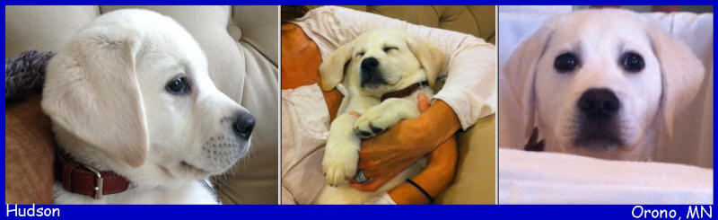 white lab puppies for sale in Minnesota California