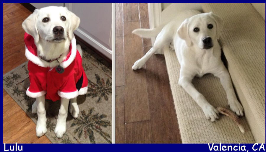 white lab puppies for sale los angeles california