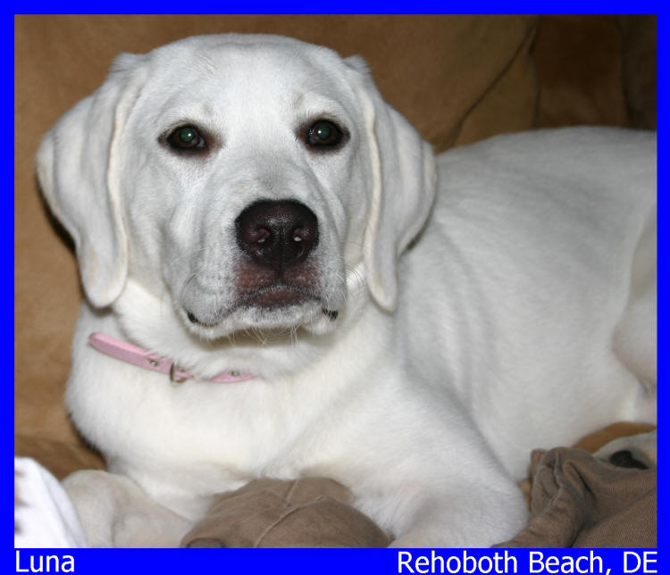 white lab puppies for sale in Delaware