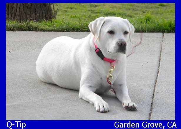 English Lab Breeder, English lab puppies, white labrador retriever female, white lab puppy, blonde labrador puppies, yellow lab pups