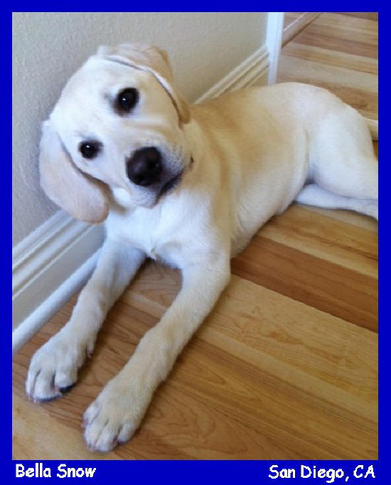 white lab puppies for sale in san diego california