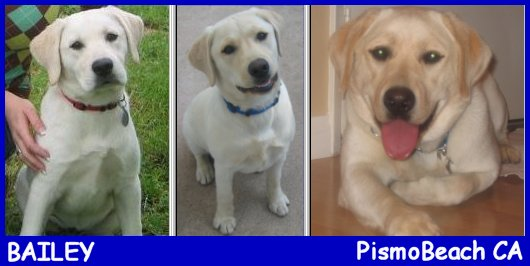 white labrador retriever female, white lab puppy, blonde labrador puppies, yellow lab pups