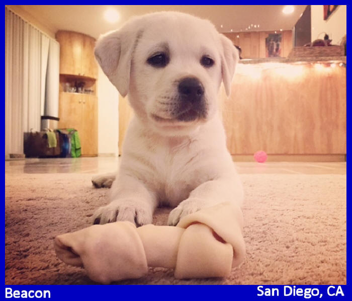 white lab puppies for sale oregon washington california