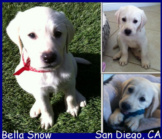 yellow english labrador retriver puppy for sale