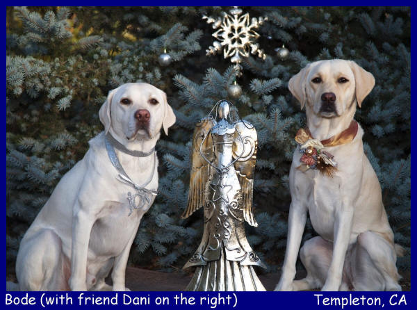 white lab puppies for sale in los angles california