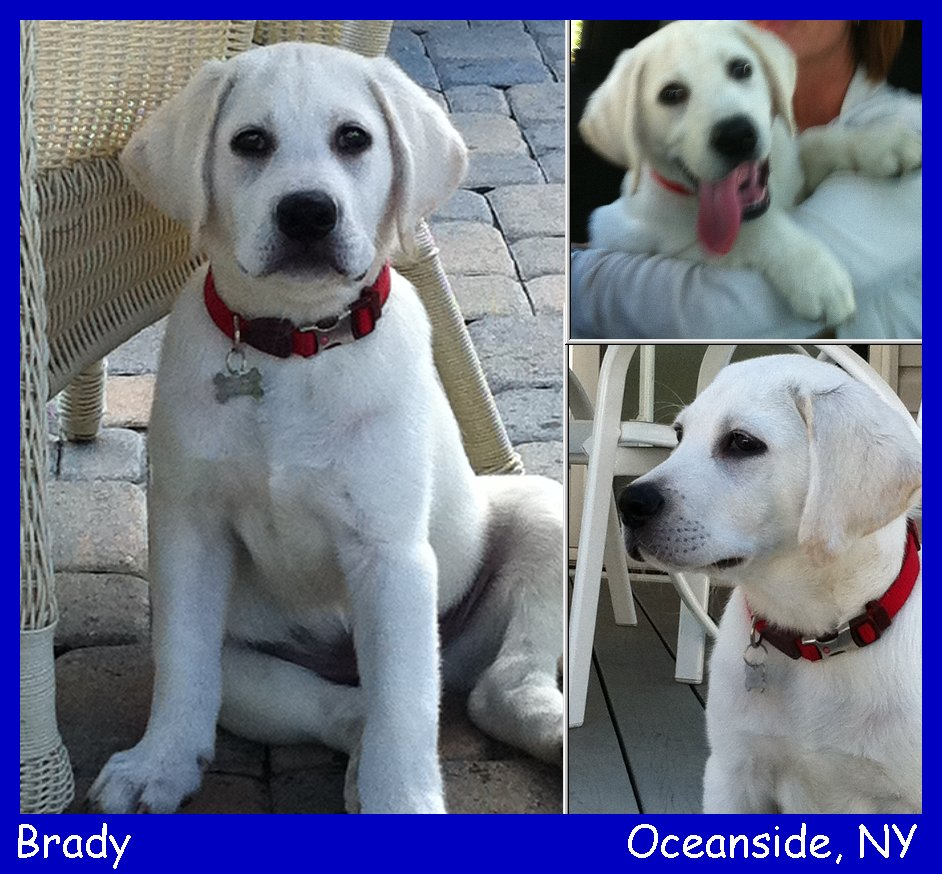 english white labrador retriever puppy at labs to love