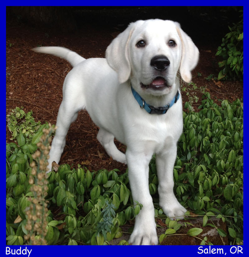 english white lab puppy for sale  white lab puppies for sale LABS TO LOVE California white lab puppies
