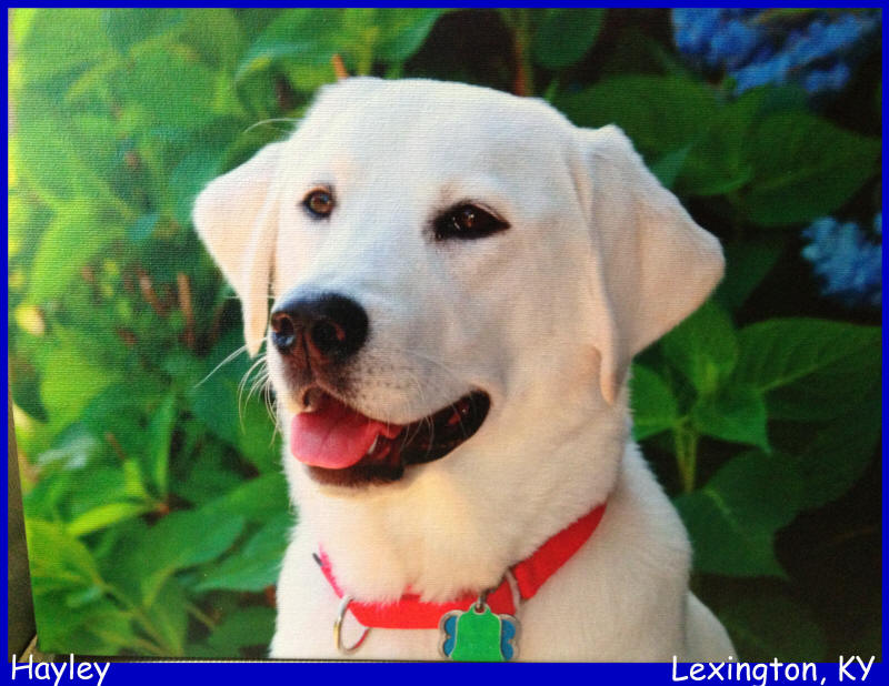 labs to love white lab puppies for sale , labs to love puppies