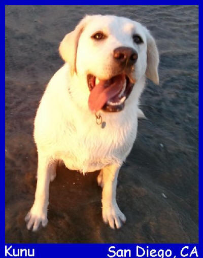 white lab puppies for sale in san diego california, yellow lab puppies for sale in san diego california