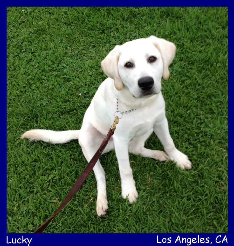 Puppies Los Angeles Lab For Chocolate Sale