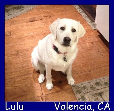 english white lab puppies for sale in los angeles california
