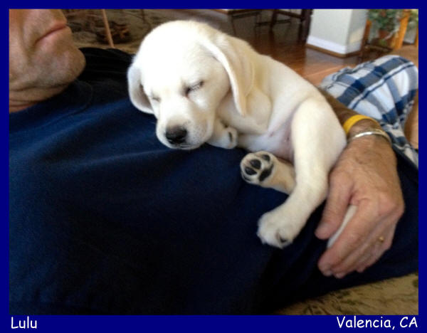 white lab puppies for sale in california Labs To Love White Lab PUppies