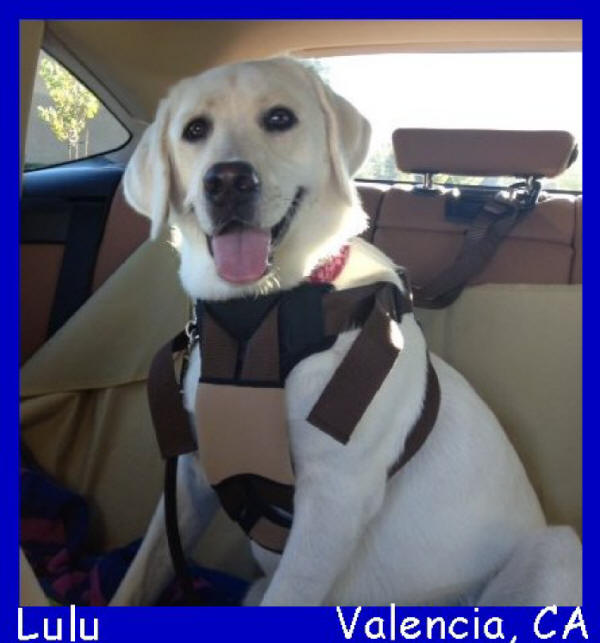 white lab puppies for sale labs to love san diego california