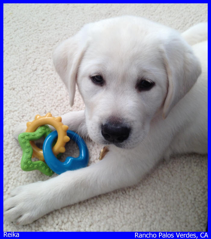 white lab puppies for sale in Rancho Palos Verdes, California, Los Angles California