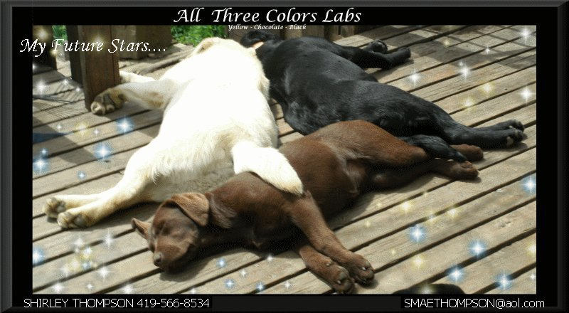 Chocolate Labs Yellow Labs Black Lab Puppies For Sale In Ohio