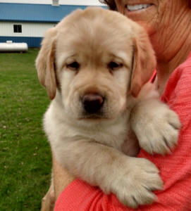 yellow lab puppy available now ohio