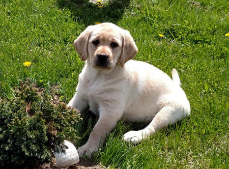 female yellow lab puppy available now ohio