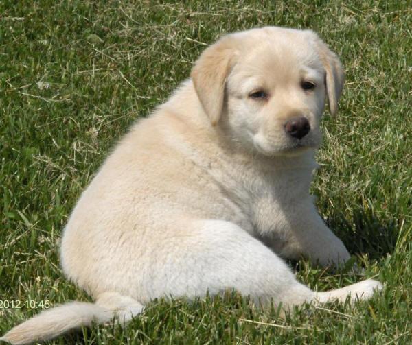 Yellow labrador puppies ohio