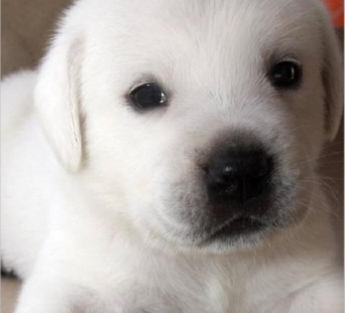 White english labrador puppies for sale california